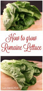 How to Grow Romaine Lettuce | Learn how to grow romaine from start to finish. Part of our how-to garden series.