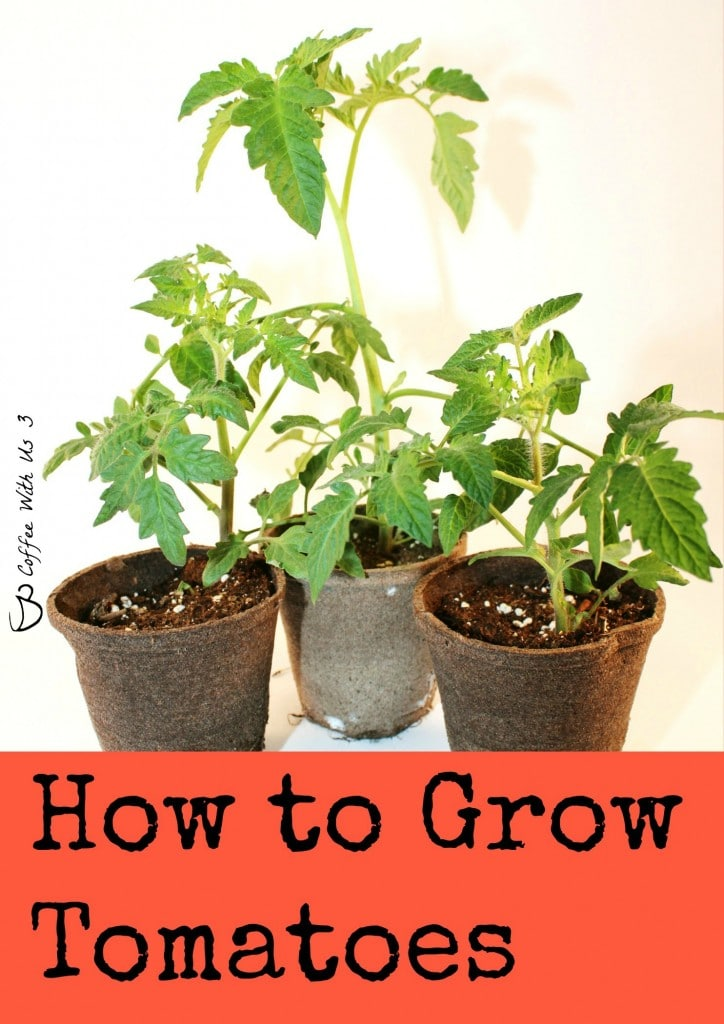 How to Grow Tomatoes 1